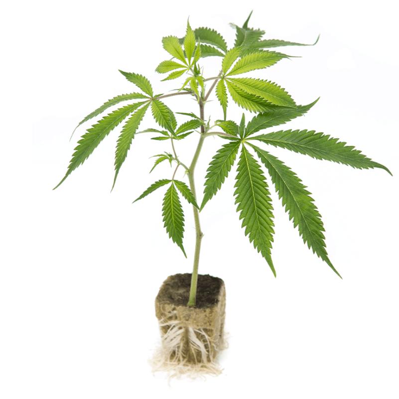 Talee Cannabis ornamentale